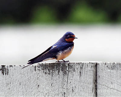 Barn Swallow At Fort Larned Poster by Catherine Sherman