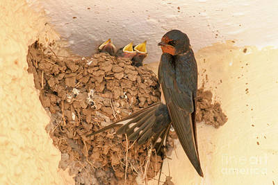 Barn Swallow With Hatchlings  Poster