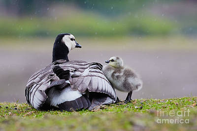 Barnacle Goose With Chick In The Rain Poster by Nick  Biemans