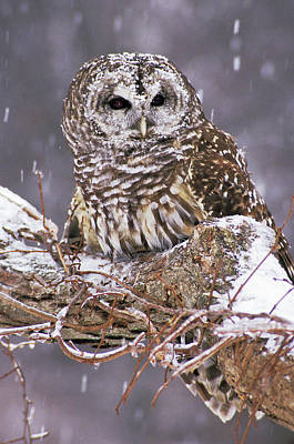 Barred Owl 1 Poster by Mike Goldstein