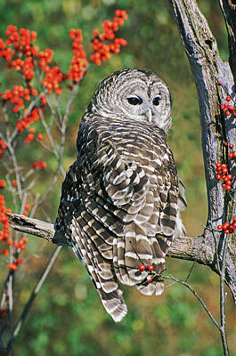 Barred Owl 2 Poster by Mike Goldstein