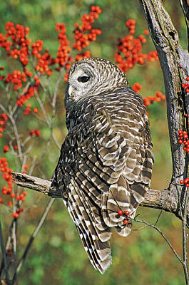 Barred Owl 3 Poster by Mike Goldstein
