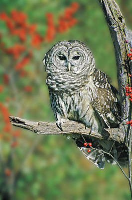 Barred Owl 5 Poster by Mike Goldstein