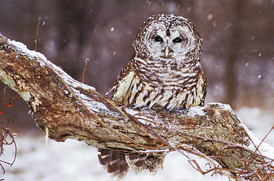 Barred Owl 6 Poster by Mike Goldstein