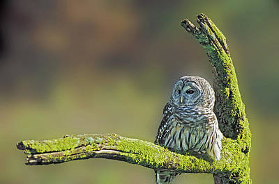 Barred Owl 7 Poster by Mike Goldstein