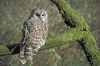 Barred Owl 8 Poster by Mike Goldstein