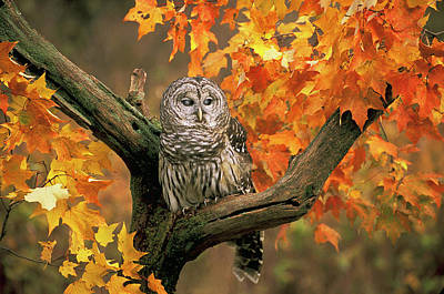 Barred Owl 9 Poster by Mike Goldstein