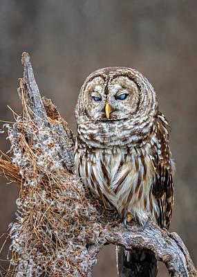 Barred Owl Blue Eyed Poster