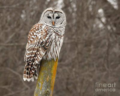 Barred Owl Poster by Kathy M Krause