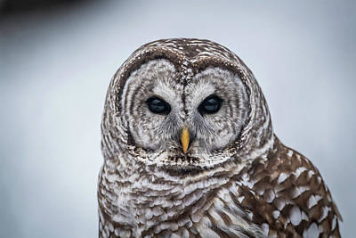 Poster featuring the photograph Barred Owl by Paul Freidlund