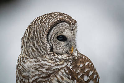Poster featuring the photograph Barred Owl Portrait by Paul Freidlund