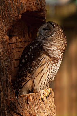 Barred Owl Sleeping In A Tree Poster by Chris Flees