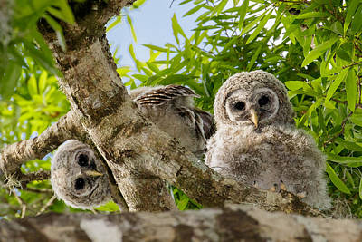 Barred Owlet Twins Poster by Phil Stone