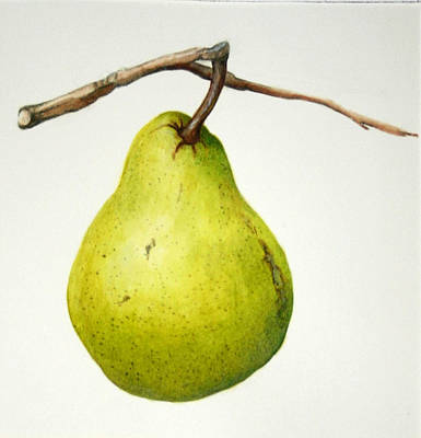 Bartlett Pear Poster by Margit Sampogna