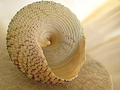 Basking Seashell Poster