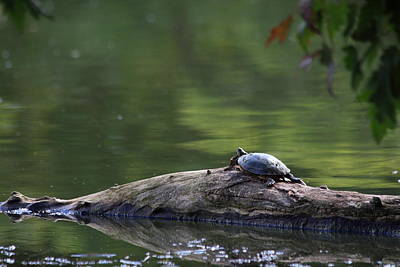 Poster featuring the photograph Basking Turtle by Lyle Hatch