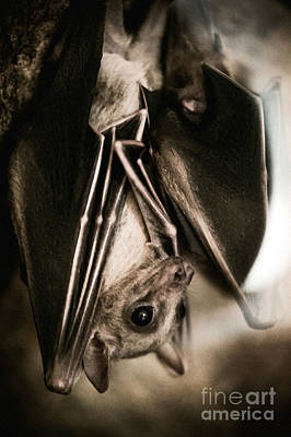 Bat Hanging Alone Closeup Poster by Arletta Cwalina