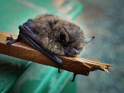 Poster featuring the photograph Bat Rehoused by Jean Noren