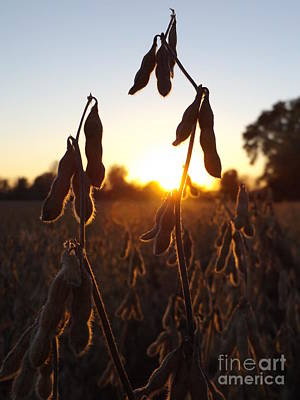 Beans At Sunset Poster