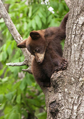 Bear Cub In A Tree Looking Down Poster by Randall Nyhof