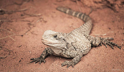 Bearded Dragon Lizard Poster by Wim Lanclus
