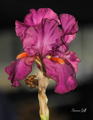 Bearded Iris Beauty Poster by Suzanne Gaff