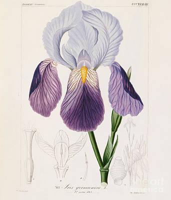 Bearded Iris Poster