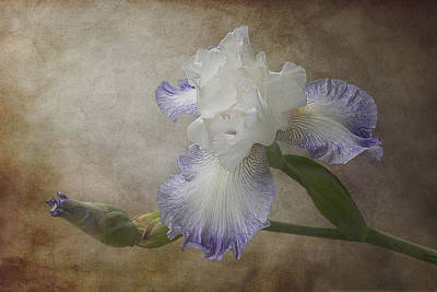 Bearded Iris Poster by Patti Deters