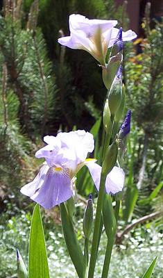 Bearded Iris Poster by Susan Alvaro