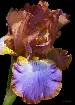 Poster featuring the photograph Bearded Iris With Black Background by Kerri Ligatich