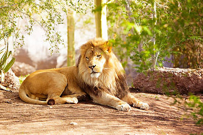 Beautiful African Lion Laying In Jungle Poster