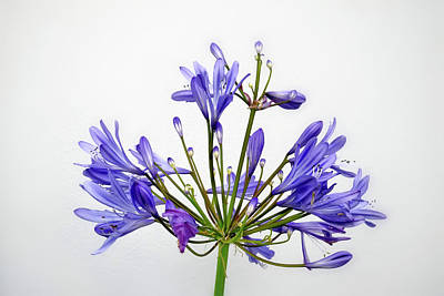 Beautiful Agapanthus Flower - The Blue Trumpets Are Perfectly Lit By Natural Daylight Poster