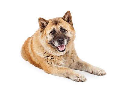 Beautiful Akita Dog Laying Poster by Susan Schmitz
