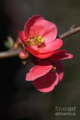 Beautiful And Rich Flowering Quince Poster
