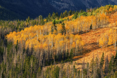 Beautiful Autumn Aspen Trees Creating Sea Of Gold In Stanley Idaho Usa Poster