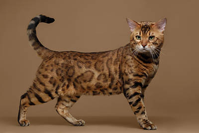 Beautiful Bengal Cat Stands On Brown Background Poster by Sergey Taran
