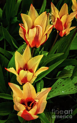 Poster featuring the photograph Beautiful Bicolor Tulips by Robert Bales