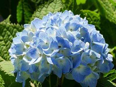 Beautiful Blue Hydrangea Poster by Cynthia Woods