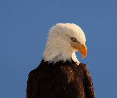 Poster featuring the photograph Beautiful Eagle by Jeff Swan