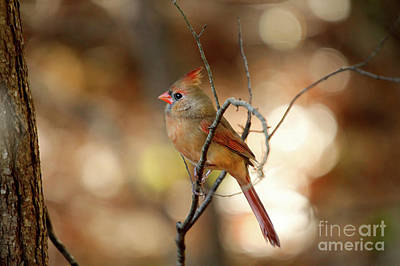 Poster featuring the photograph Beautiful Female Cardinal by Darren Fisher
