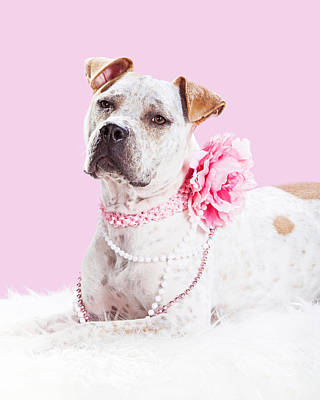 Beautiful Female Pit Bull Dog In Pink Poster by Susan Schmitz