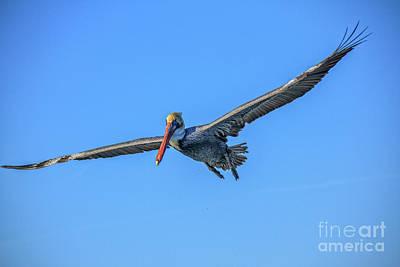 Beautiful Flying Pelican Poster