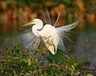 Beautiful Great White Egret At Dusk Poster