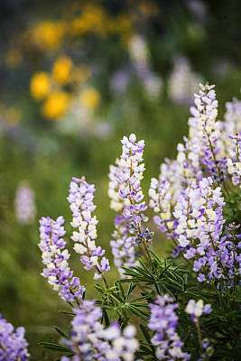 Beautiful Lupines Blooming In Boise Hills Boise Idaho Usa Poster by Vishwanath Bhat