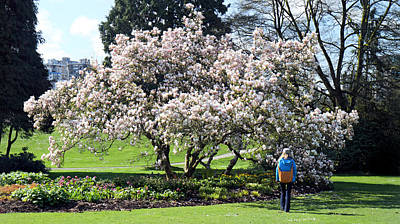 Beautiful Magnolia Tree In Stanley Park Vancouver Poster