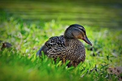 Poster featuring the photograph Beautiful Mama Duck by Linda Unger