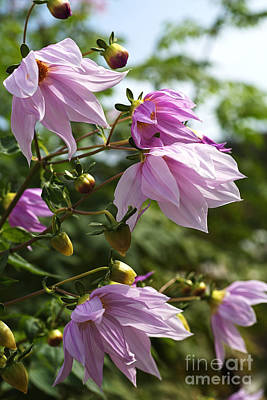 Beautiful Mauvetree Dahlia In Flower Poster