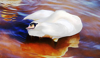 Beautiful Mute Swan Grooming In Shallow Water - Digitalart Poster by Roy Williams