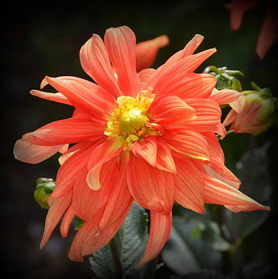 Beautiful Orange Dahlia Poster by Carla Parris