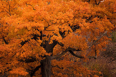 Beautiful Orange Tree On A Fall Day Poster